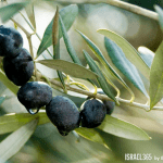 A Leafy Olive Tree