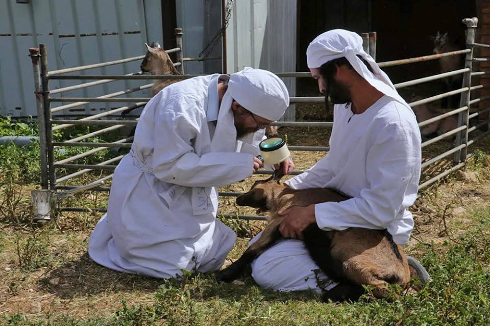 Kohanim inspecting the lambs for any blemishes. (Photo: The Temple Institute)