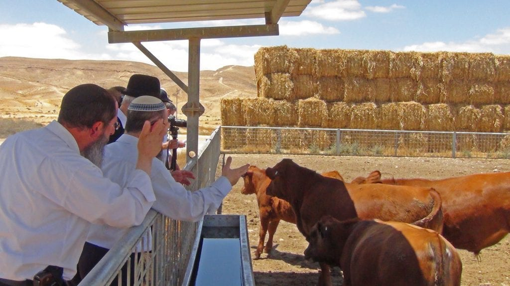 Rabbis from the Temple Institute inspect recently born male red angus cows in Israel. (Photo: The Temple Institute)