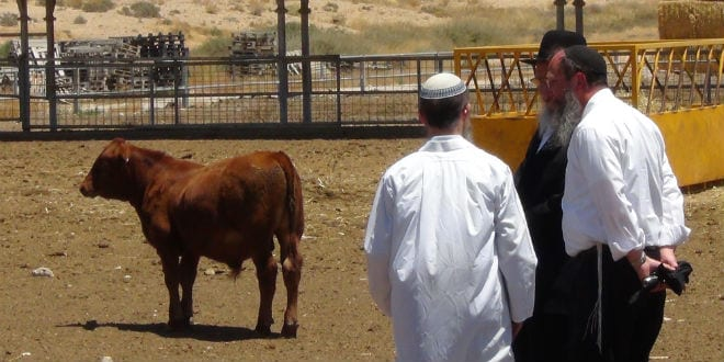 Holy Cow! Red Heifer Project Part of Path from 'Mourning to Building' Temple