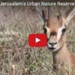Gazelle Valley: Israel's First Urban Nature Reserve