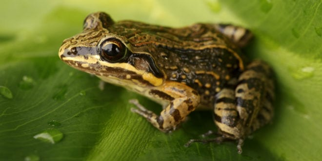 The coqui frog. (Photo: Joseph / Shutterstock)