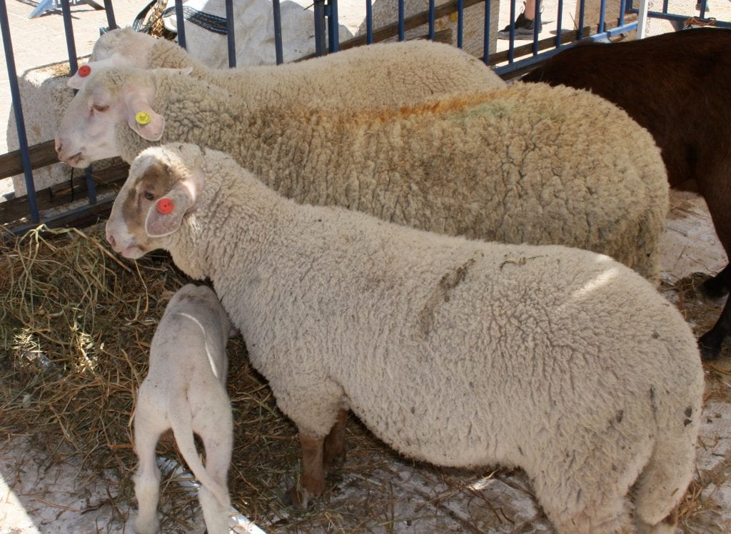 The sheep selected for the korban pesach. (Adam Prop/Courtesy)