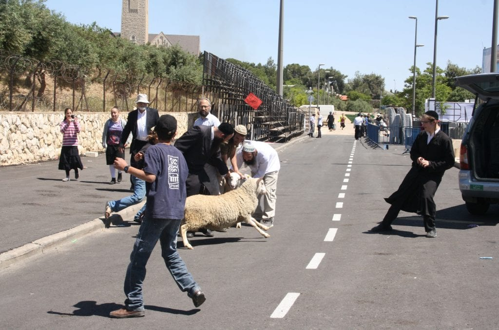 Handlers hurry to catch the paschal lamb before it escapes. (Adam Prop/Courtesy)