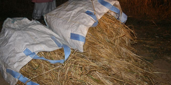 Bags bursting with sheaves of the harvested omer crop. (Photo: Adam Propp)