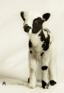 A lamb named Tikva is a member of the flock of Jacob's sheep. (Photo: Courtesy of Gil and Jenna Lewinsky)