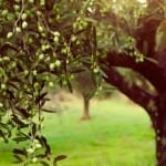 How Ezekiel 36:8 is Coming to Fruition in a Galilee Olive Grove