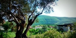 An olive tree in the thriving Galilee in northern Israel. (Photo: Galilee Green)