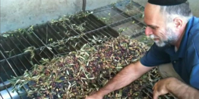 Rabbi Shmuel Veffer, owner of Galilee Green, demonstrates filling the hopper with olives. (Photo: Galilee Green)
