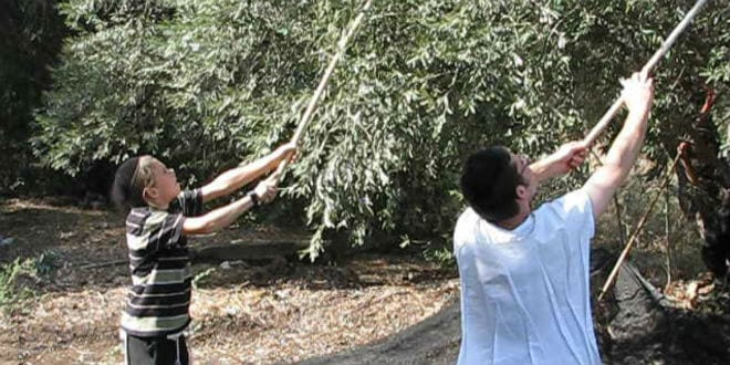 The first step of the ancient art of pressing oil is to rake the trees of the olives and gather them together. (Photo: Galilee Green)