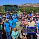 Christian Volunteers Harvest Grapes in Samaria in Fulfillment of Jeremiah 31:4