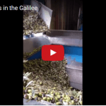 How it's Made: Pure Galilee Olive Oil