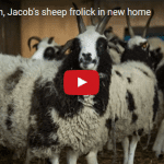 "After ""Baa-liyah"", Jacob's Sheep Frolick in New Home"