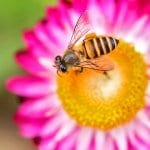 Mysterious Honey Bee Disappearance Nonexistent in Land of Milk and Honey