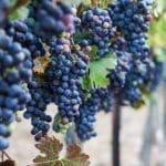 Is This Year's Bountiful Wine Harvest in Israel a Prophetic Signpost for Redemption? [VIDEO]