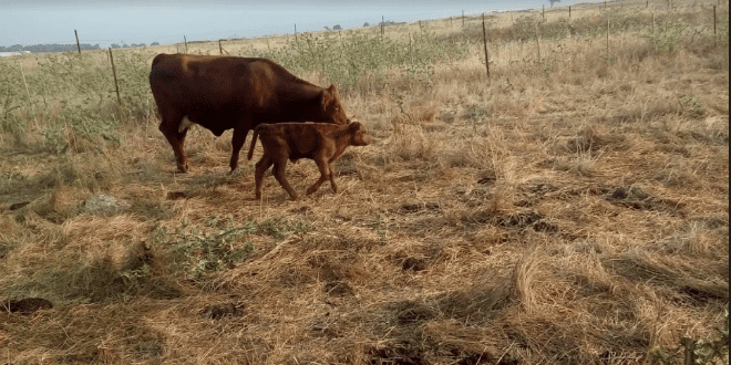 Imminent Return of the Red Heifer: Fact and Fiction