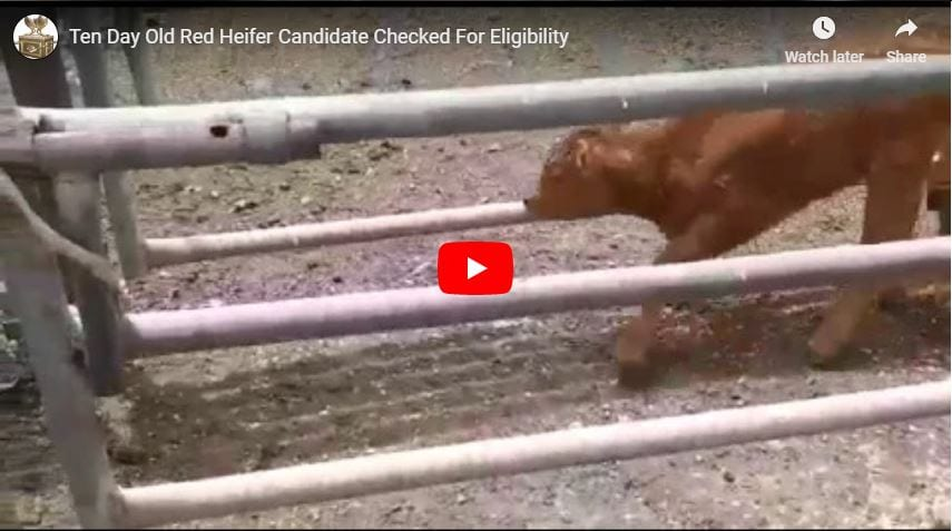 Ten Day Old Red Heifer Candidate Checked For Eligibility